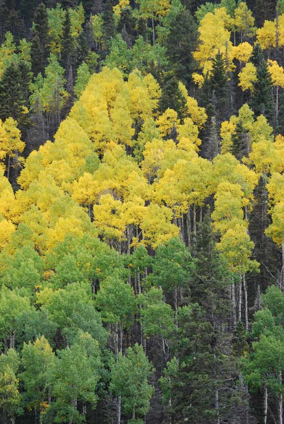 landscape_aspens_turning
